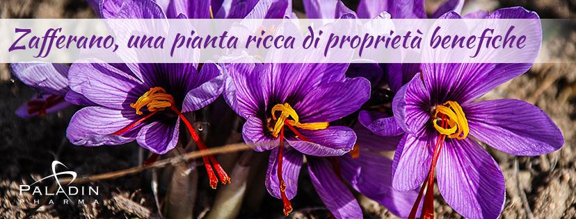 Zafferano, una pianta ricca di proprietà benefiche