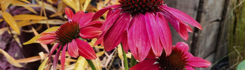 Echinacea, imperatrice delle difese immunitarie