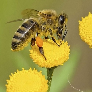 Propoli naturale con le api