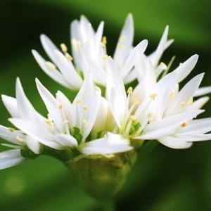 aglio nero benefici pianta paladin pharma