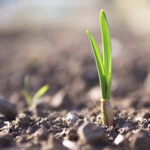 pianta aglio proprietà