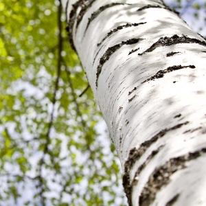 corteccia betulla e proprietà